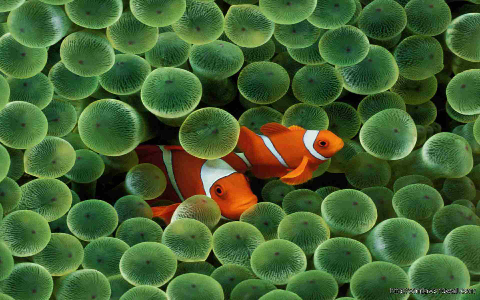Clown Fish Wallpaper