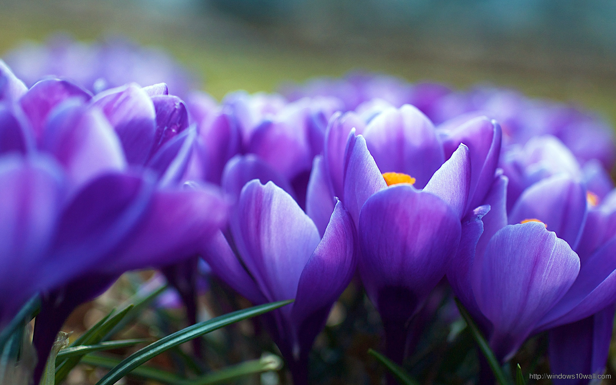 Crocus Flowers Background Wallpaper