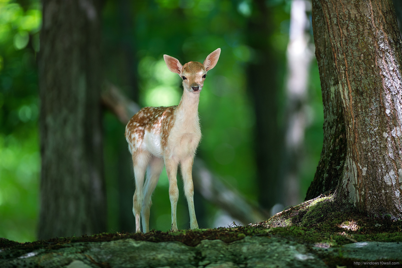 Deer Baby Animals Wallpaper