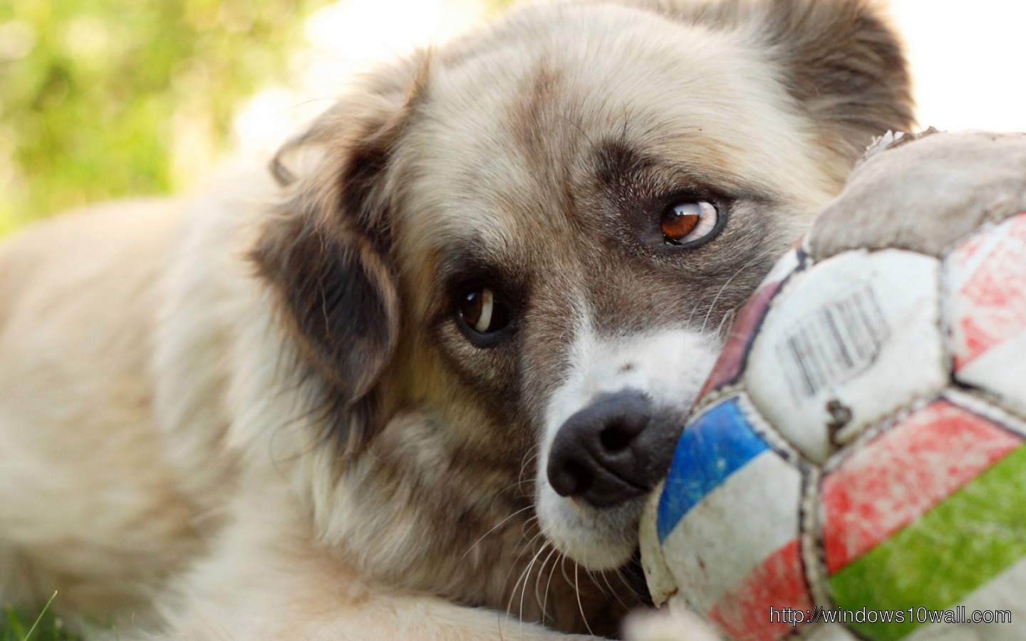 Dog with Football Wallpaper
