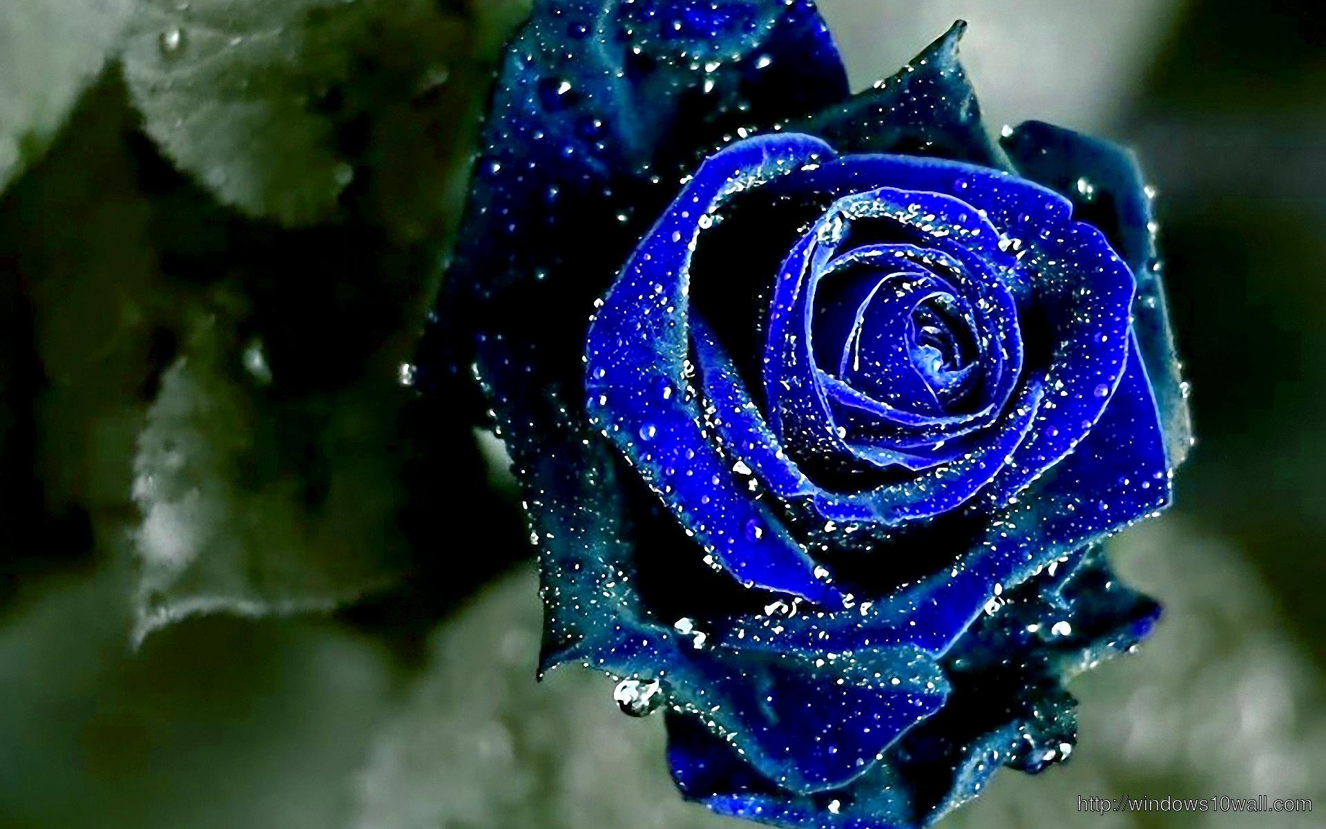 Fresh Blue Rose Wallpaper