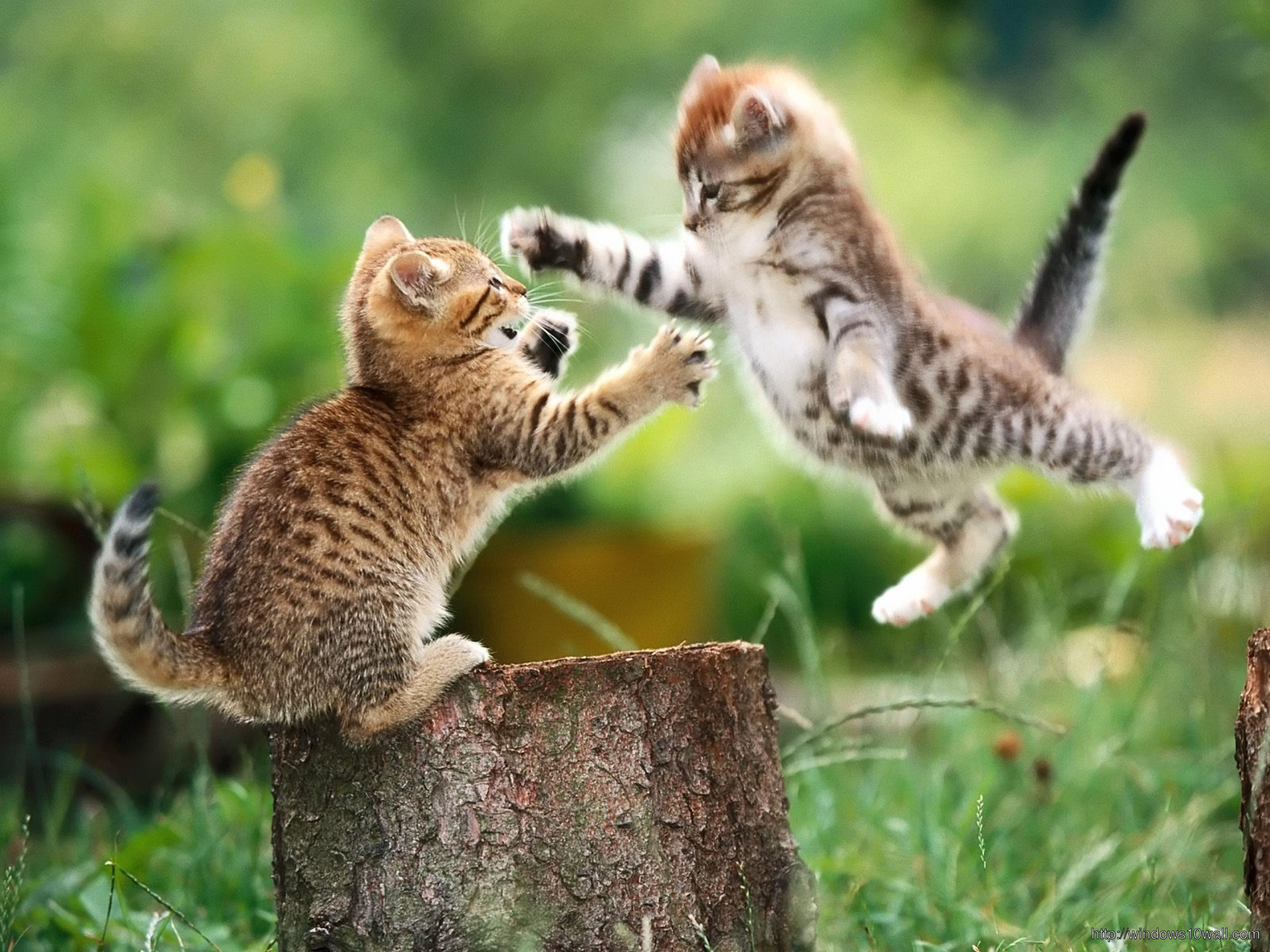 funny-cats-playing-wallpaper