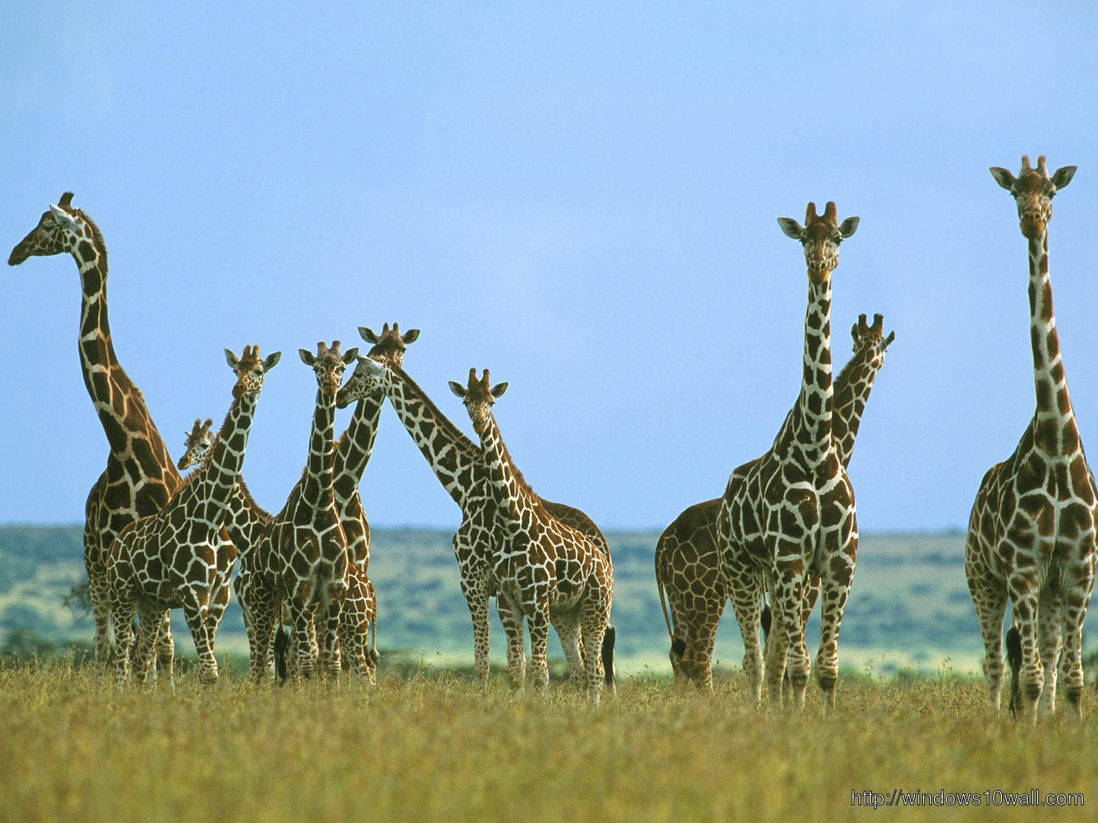 Giraffe Family Wallpaper