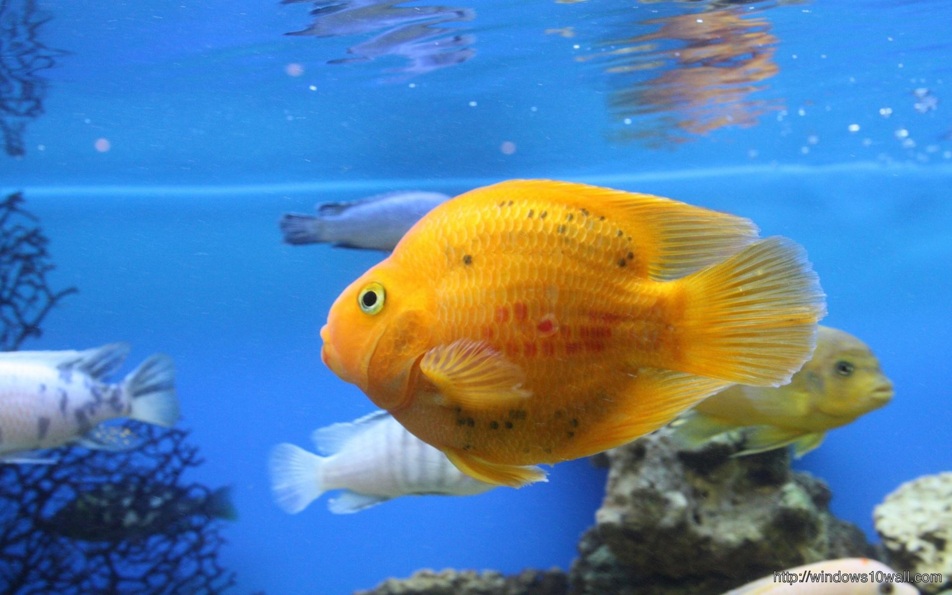 Golden Fish Undersea Wallpaper Windows 10 Wallpapers