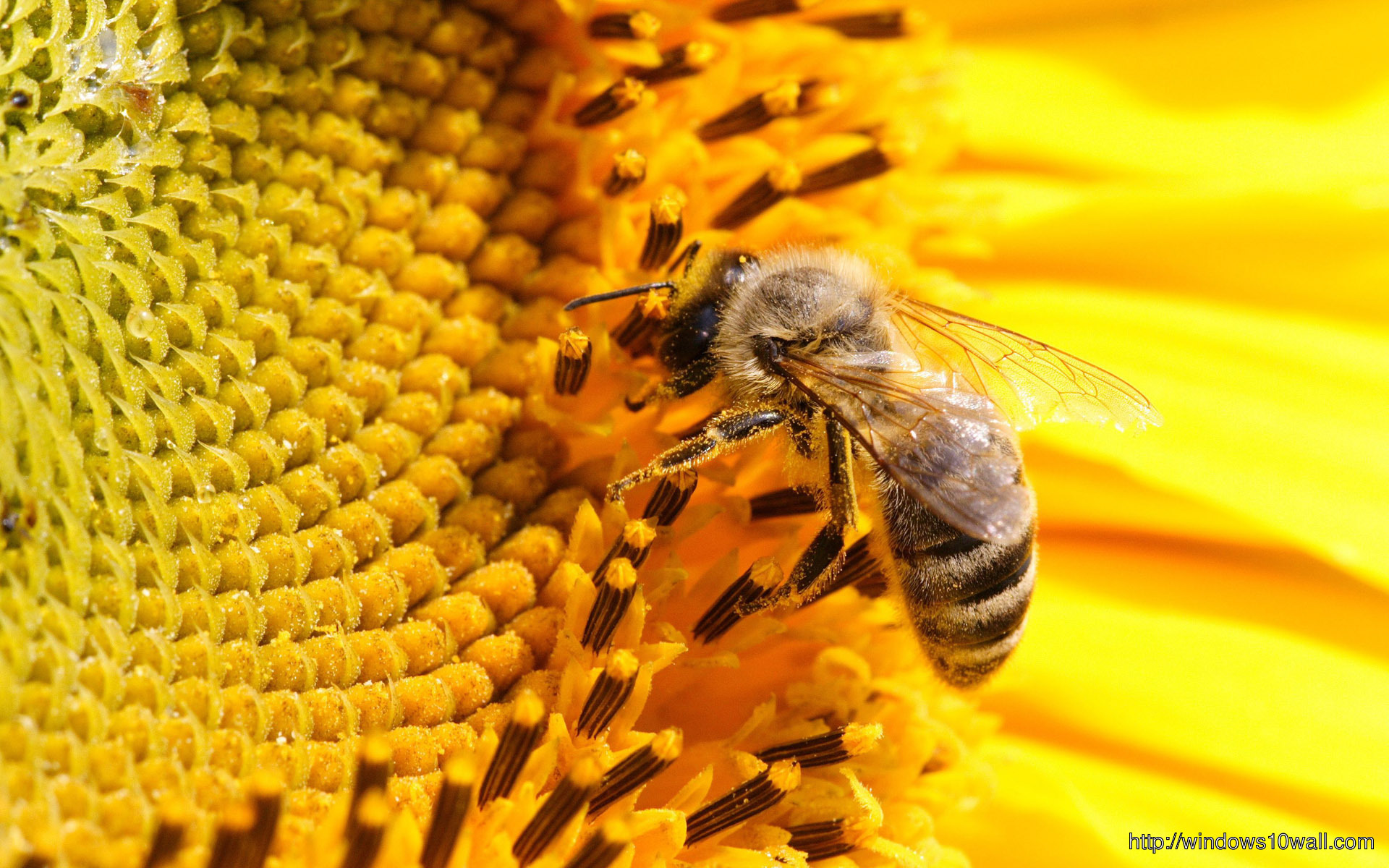 Honey Bee On Sunflowers Wallpaper