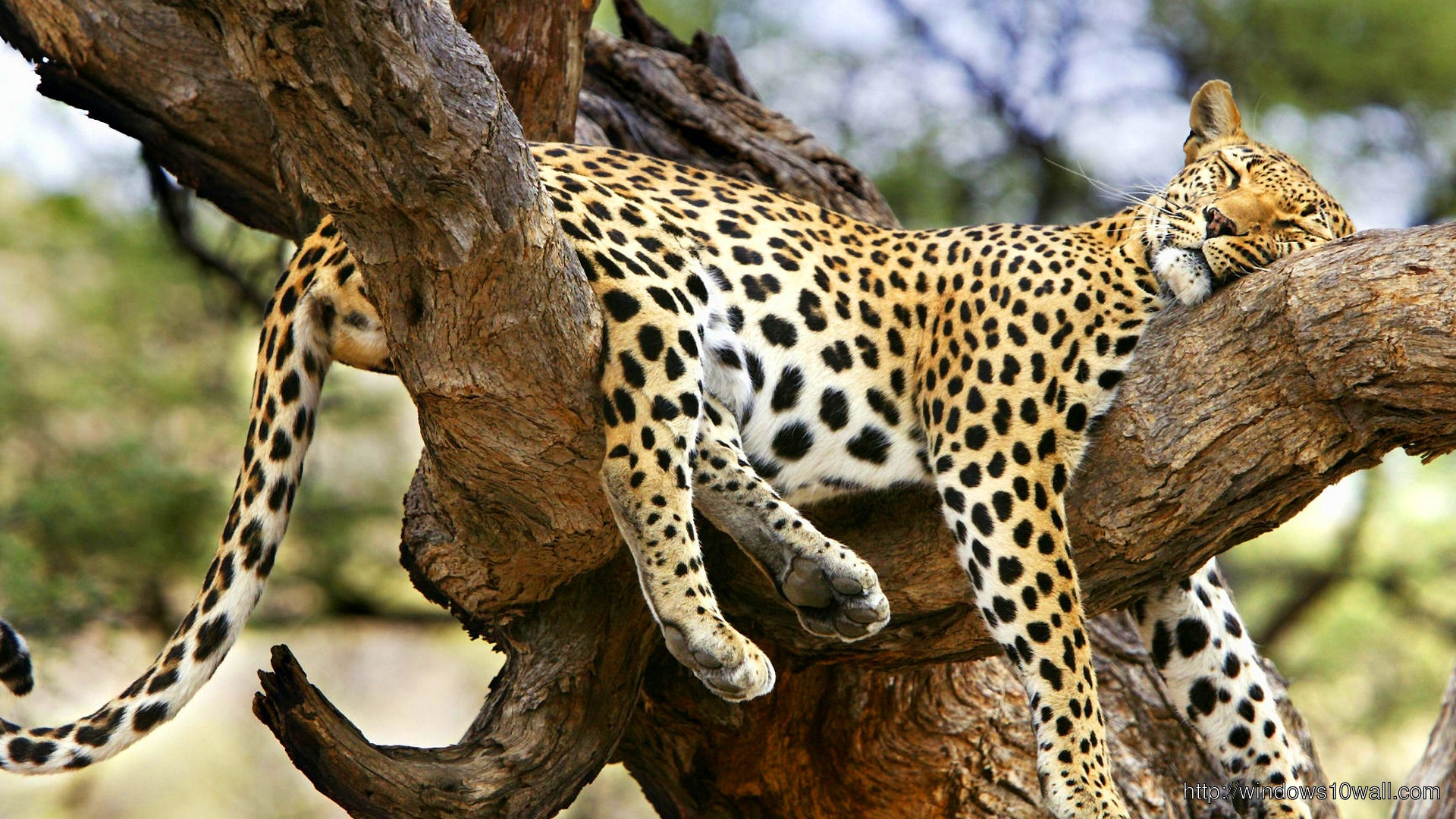 jaguar-sleeping-on-tree-wallpaper