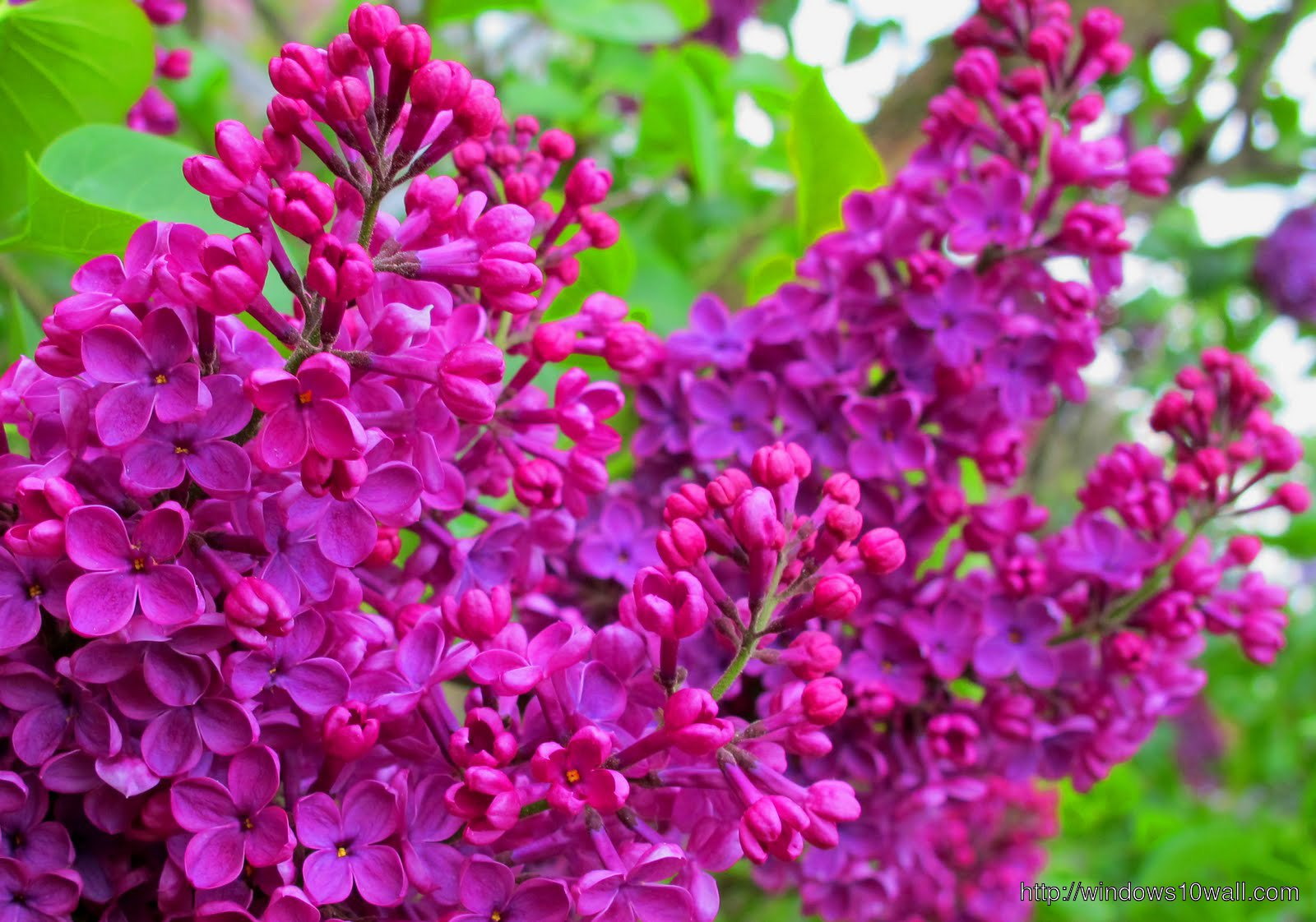 lilac pictures