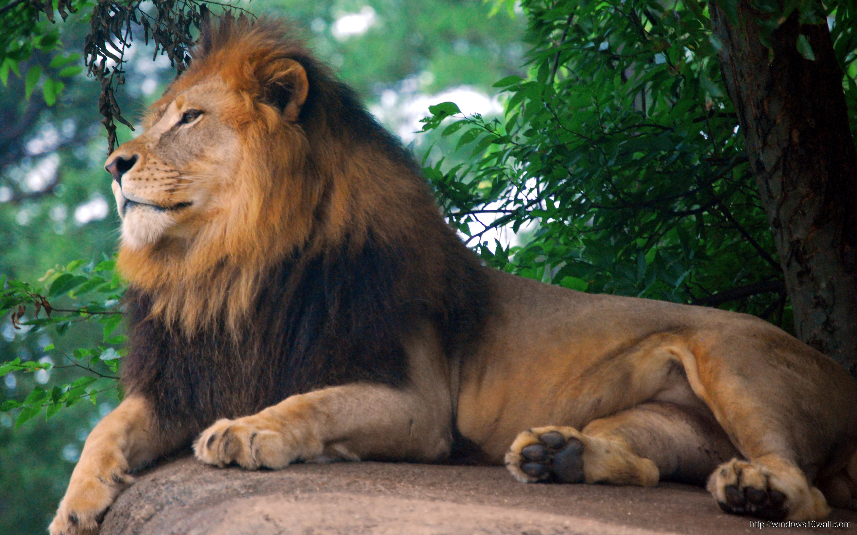 Lion King Of Forest Wallpaper Windows 10 Wallpapers
