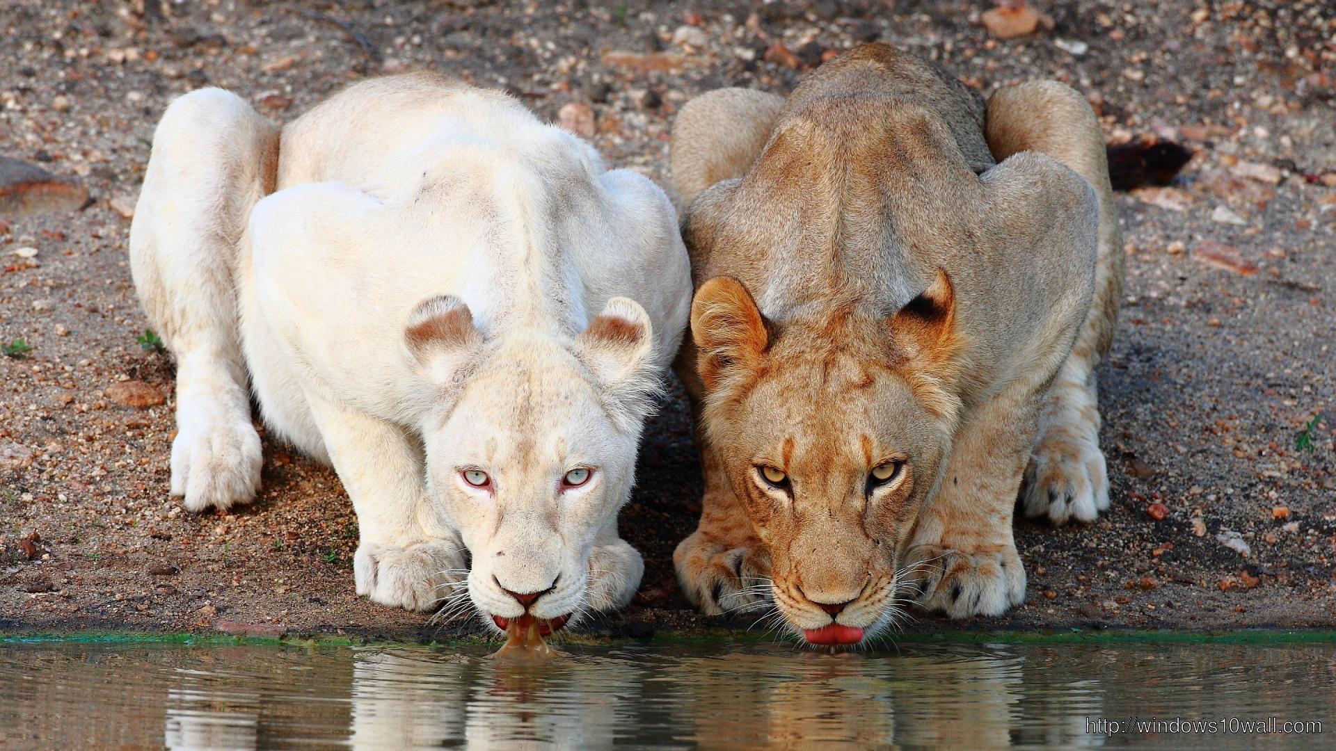 Popular Wallpaper Lion Facebook - lions-drinking-water-wallpaper  Picture_99335.jpg