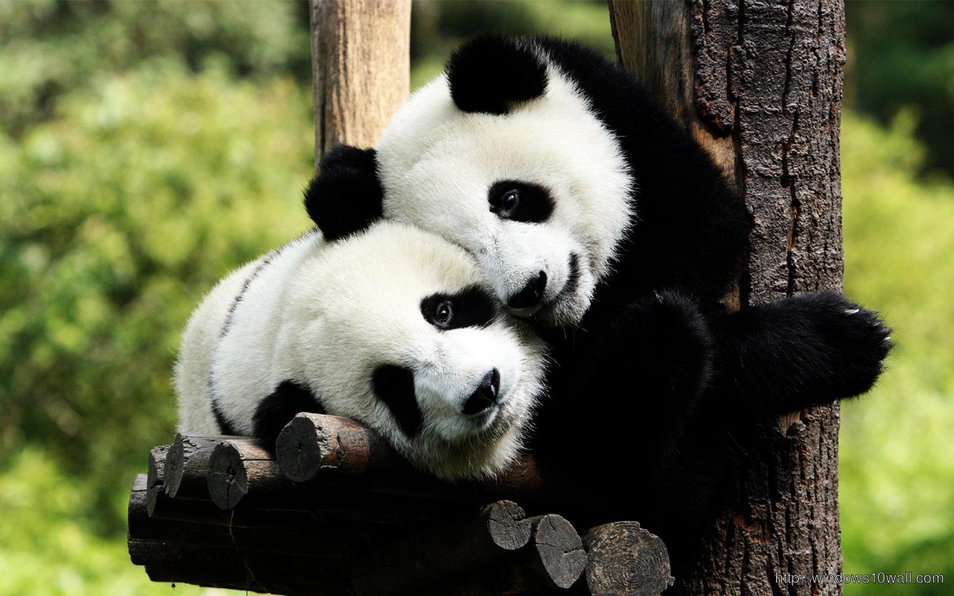 lovely-cute-pandas-wallpaper