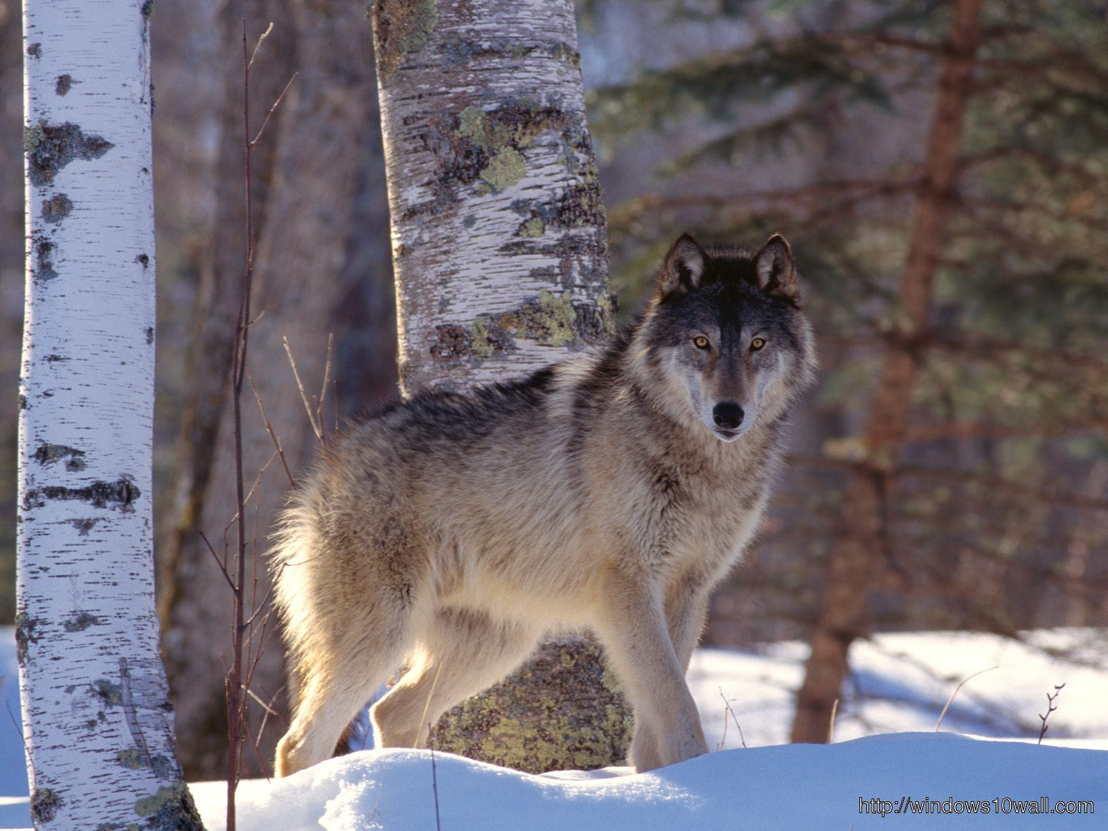 nature-scenes-with-wolves