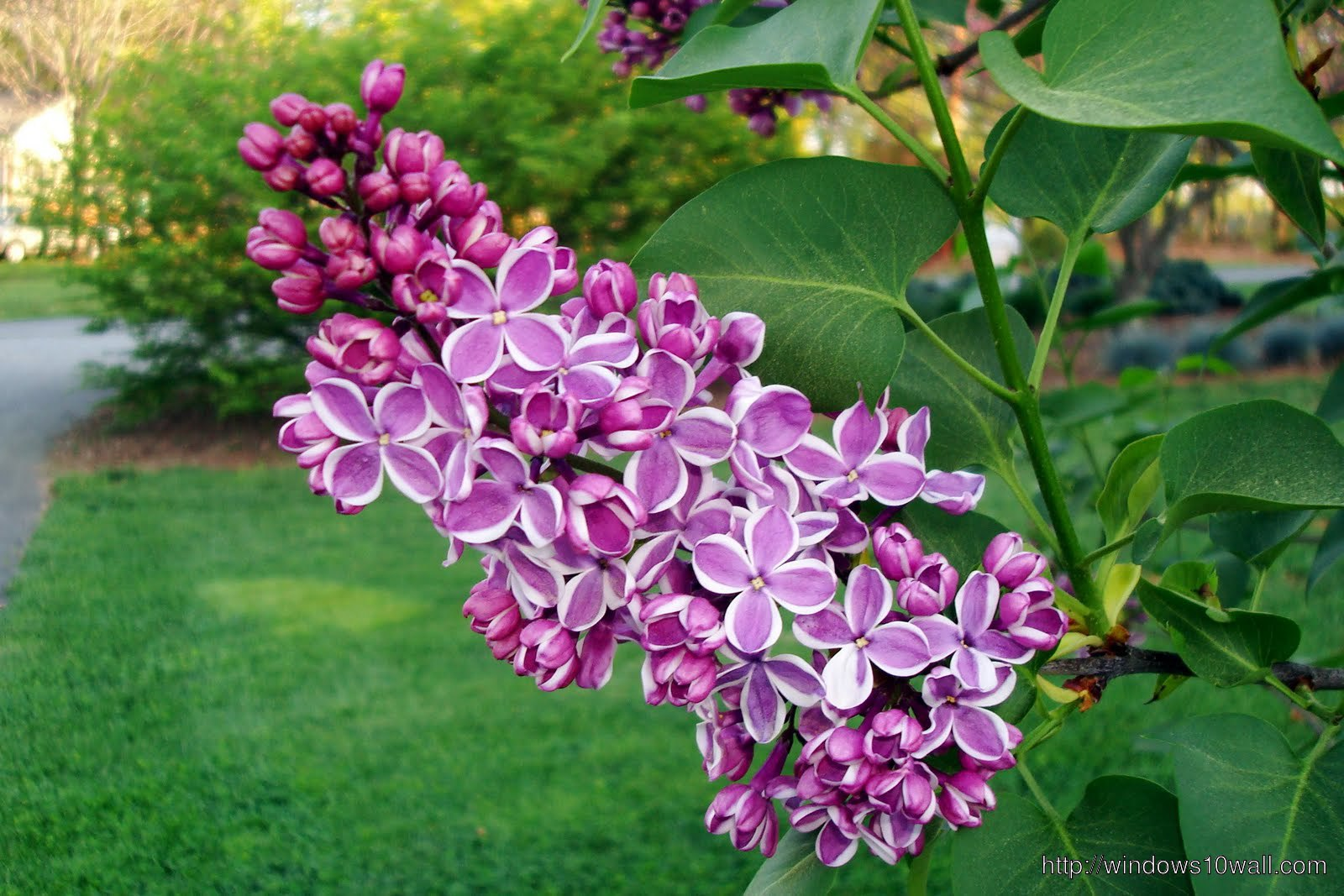 Nature Flowers lilac in Garden Wallpaper