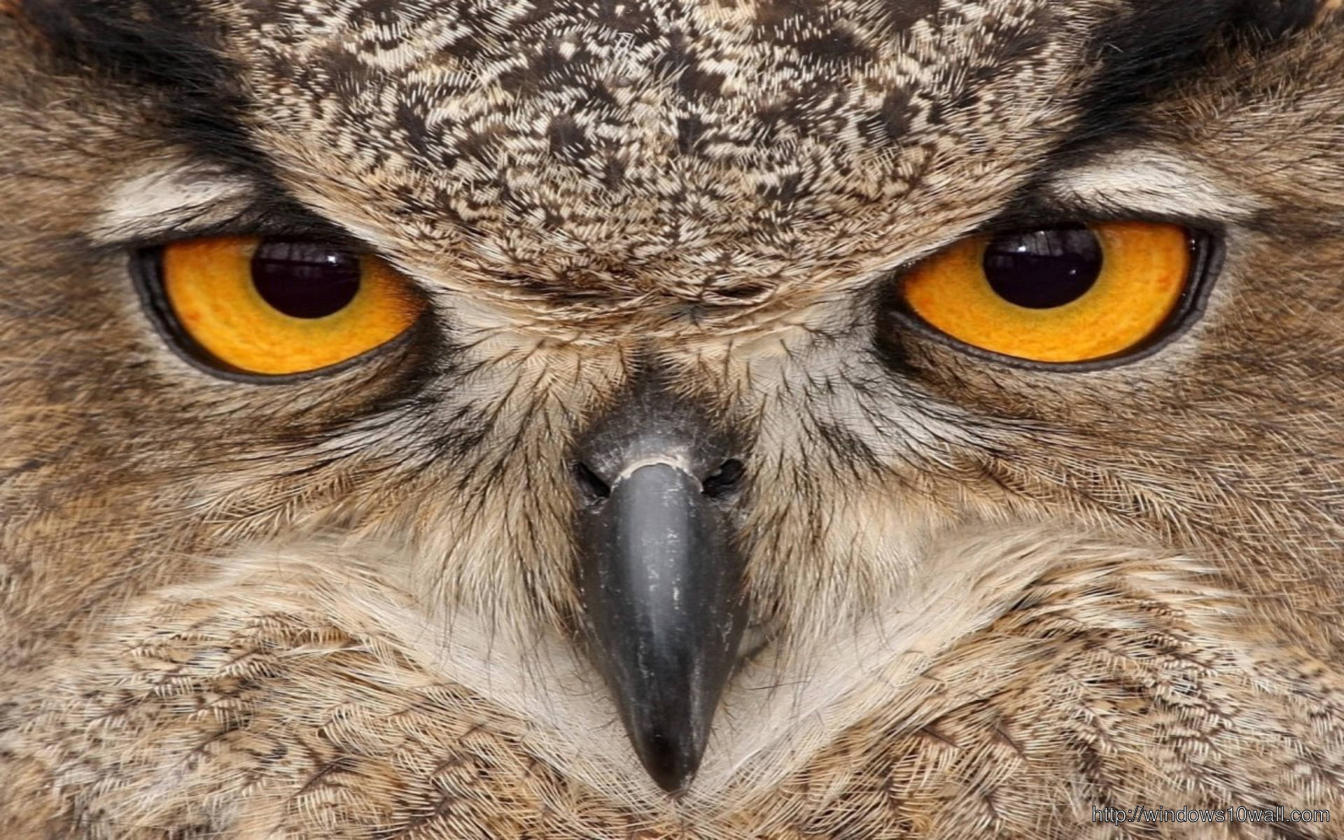 Owl Bird Eyes Wallpaper Windows 10 Wallpapers