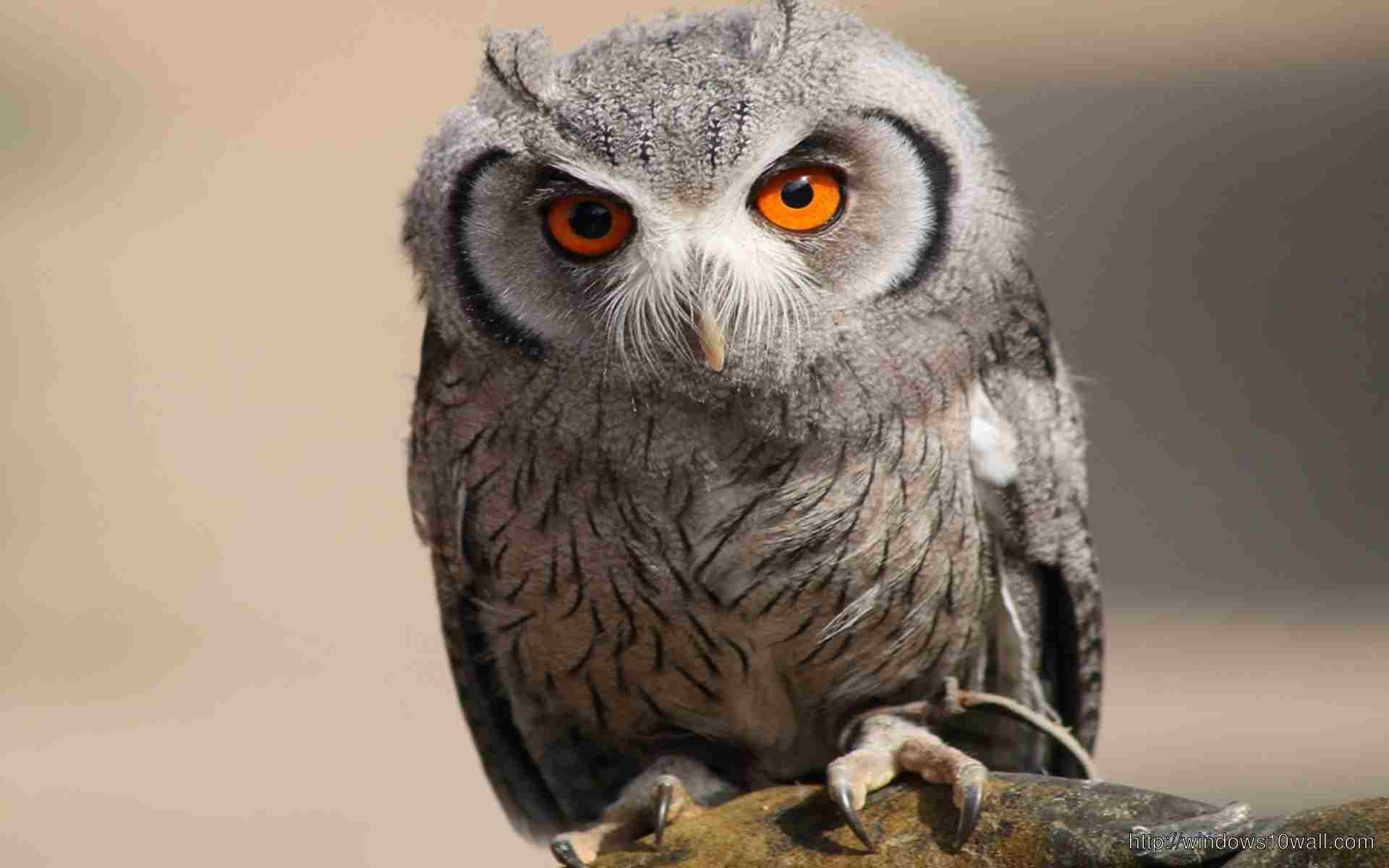 Owl Bird Picture