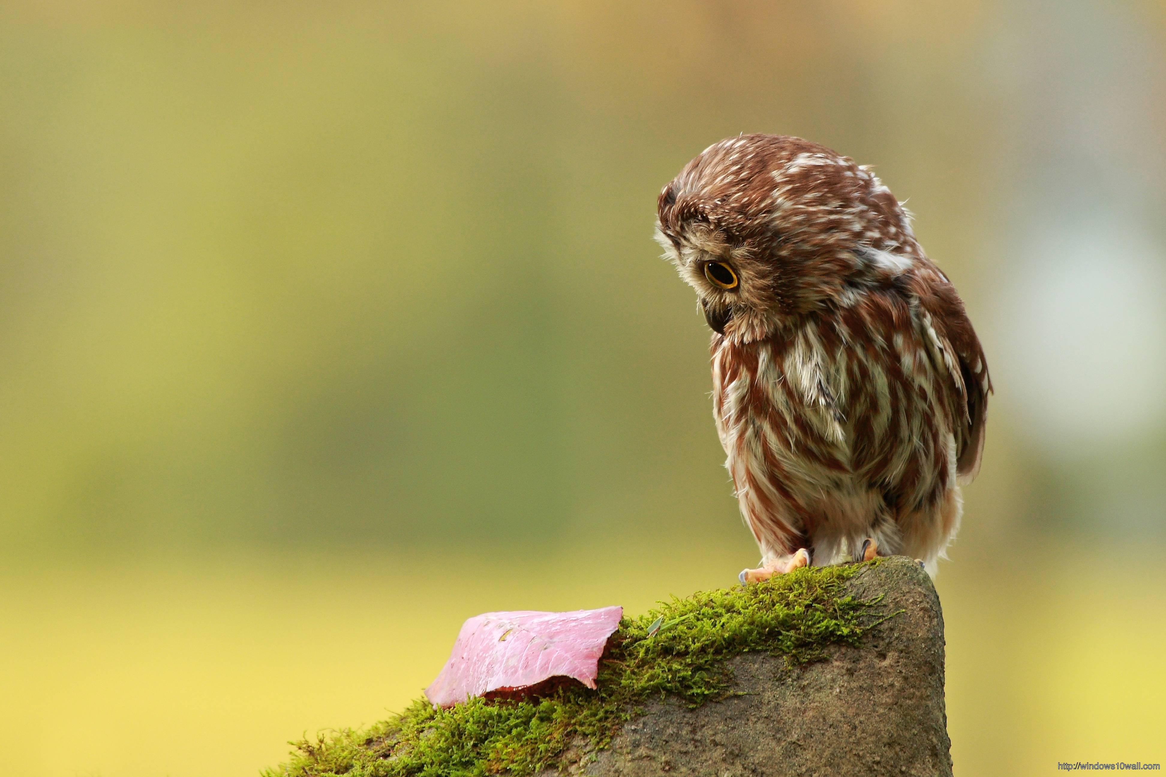 Owl Wallpaper Desktop