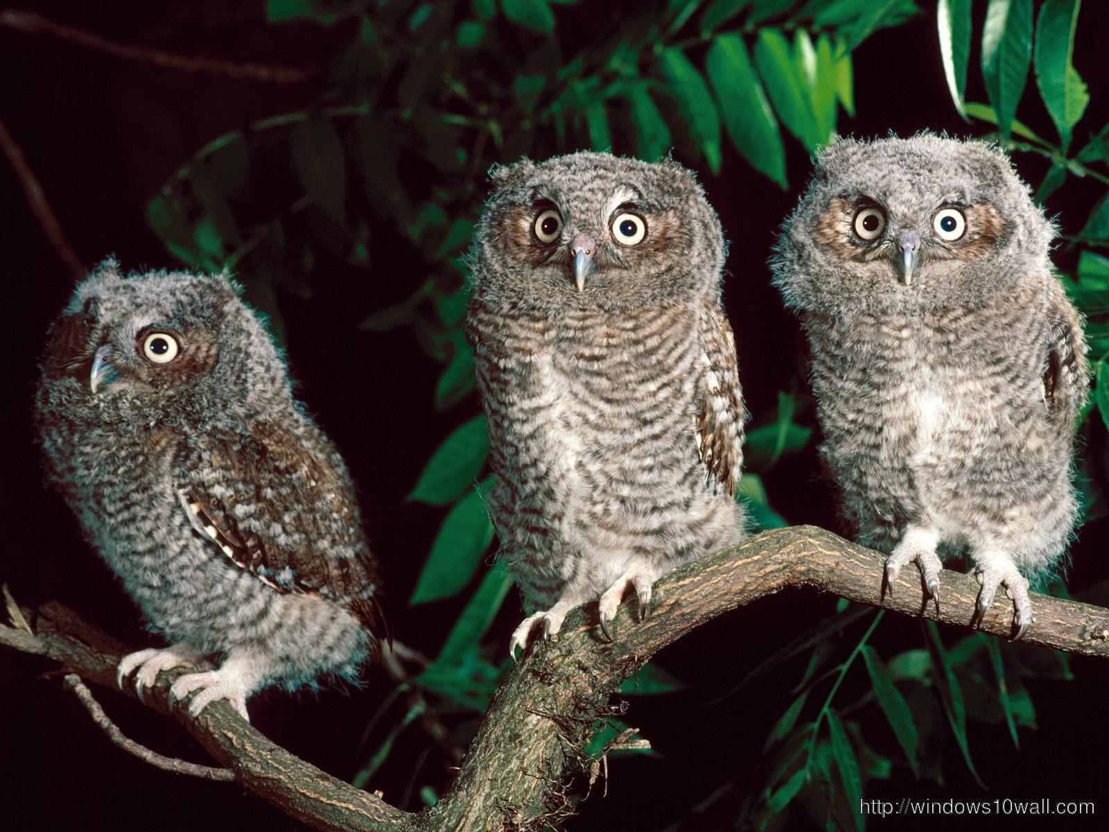 Owl Wallpaper For Desktop