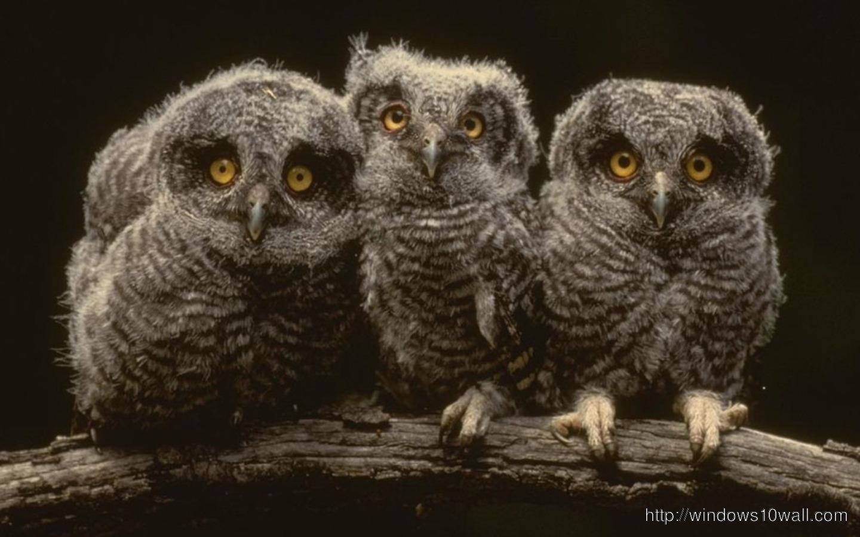 owl-wallpaper-for-xp