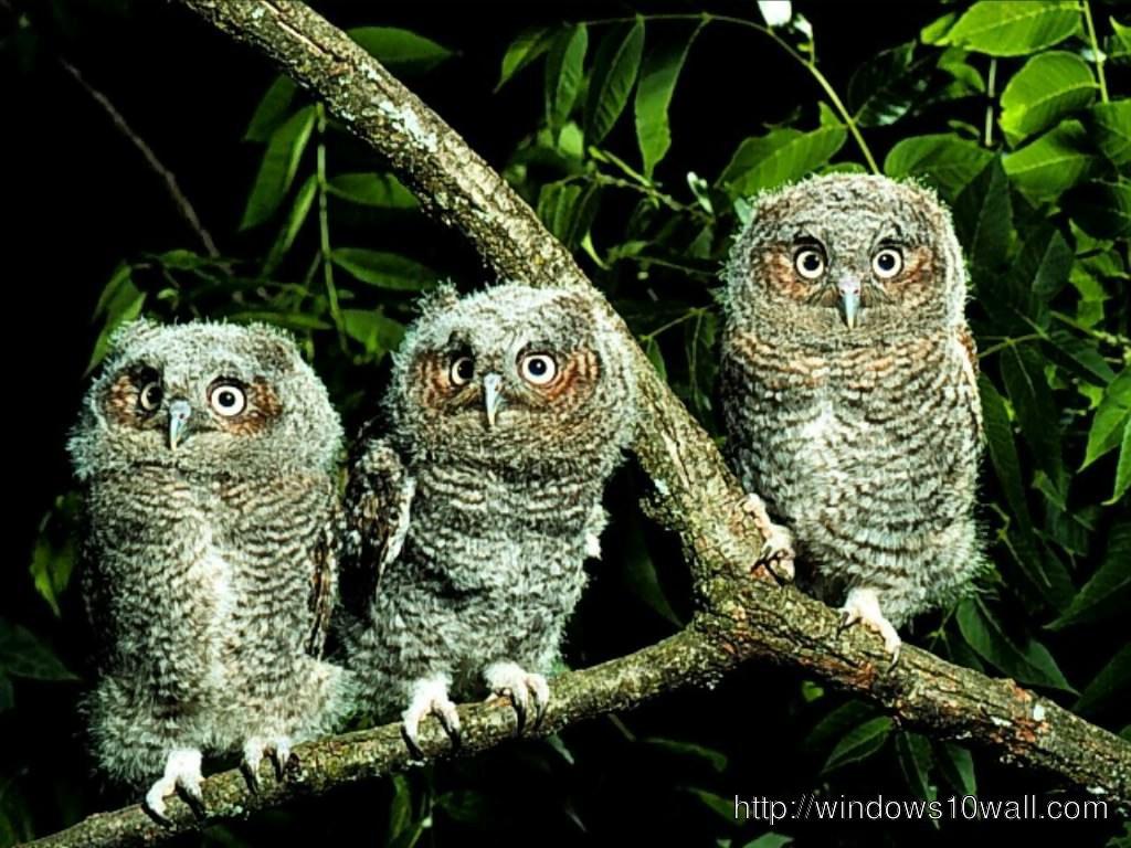 owl-wallpaper-windows