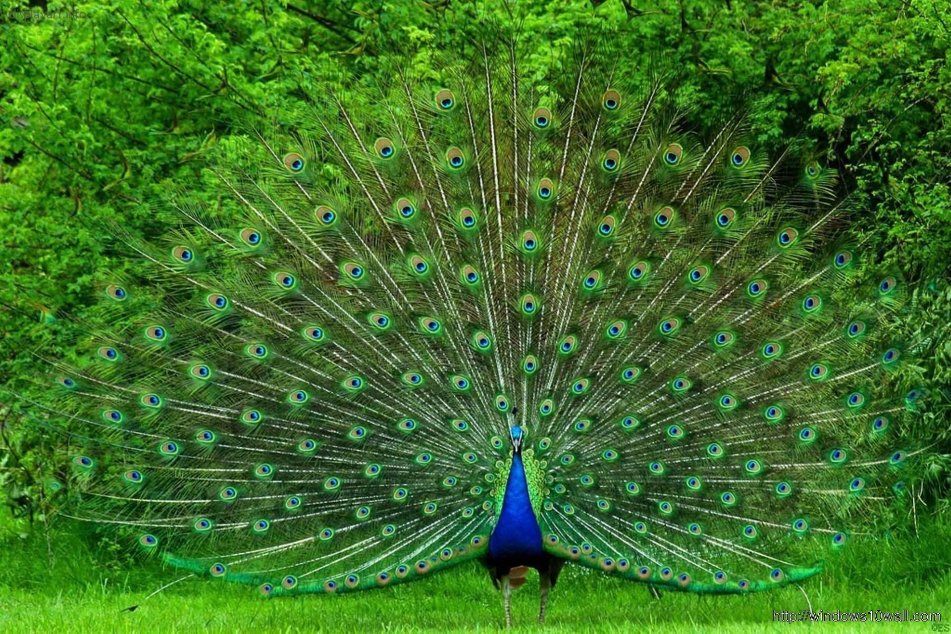 Peacock Bird Picture