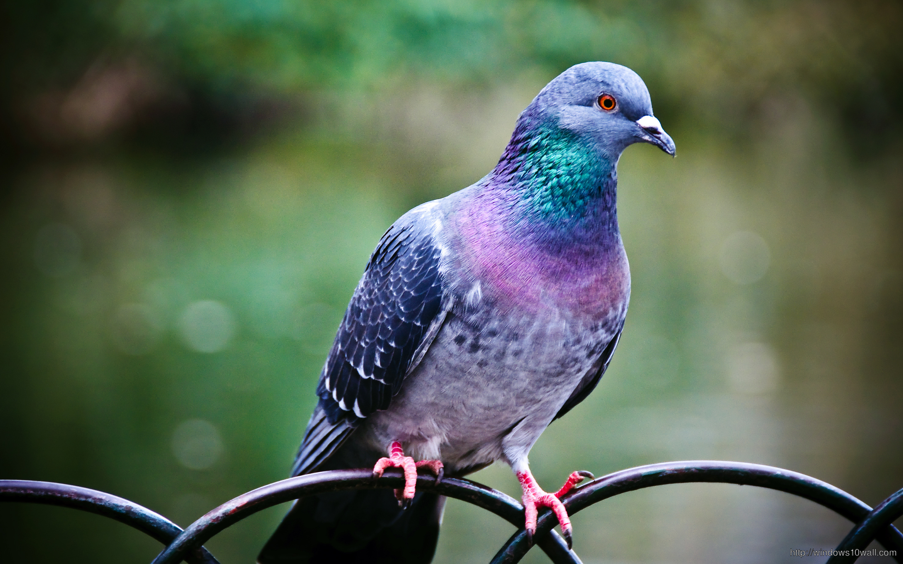 Pigeon Bird Wallpaper