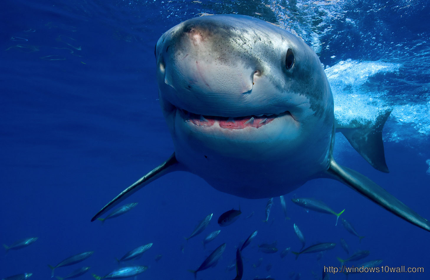Shark Wallpaper Cute