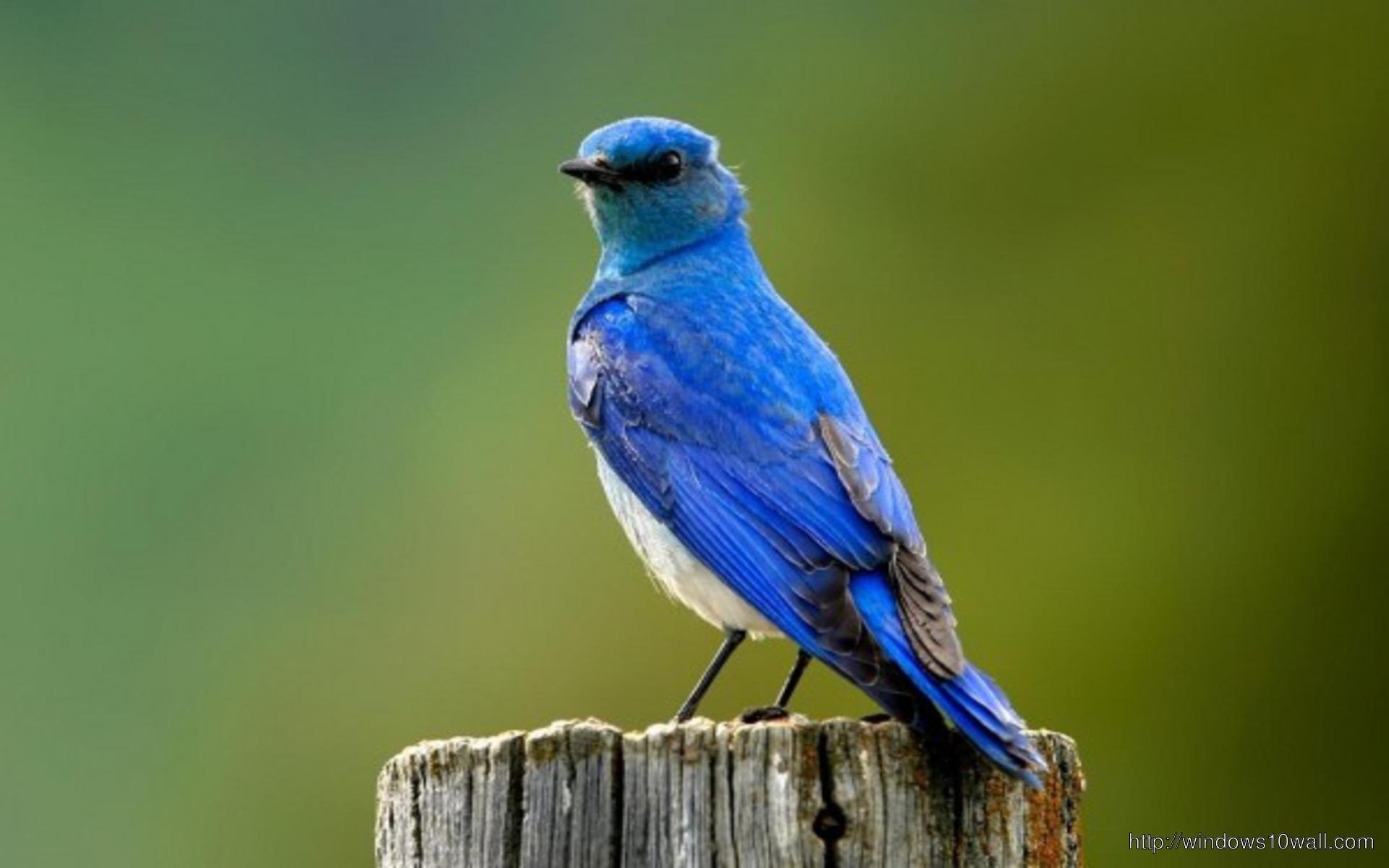 small-blue-bird-wallpaper