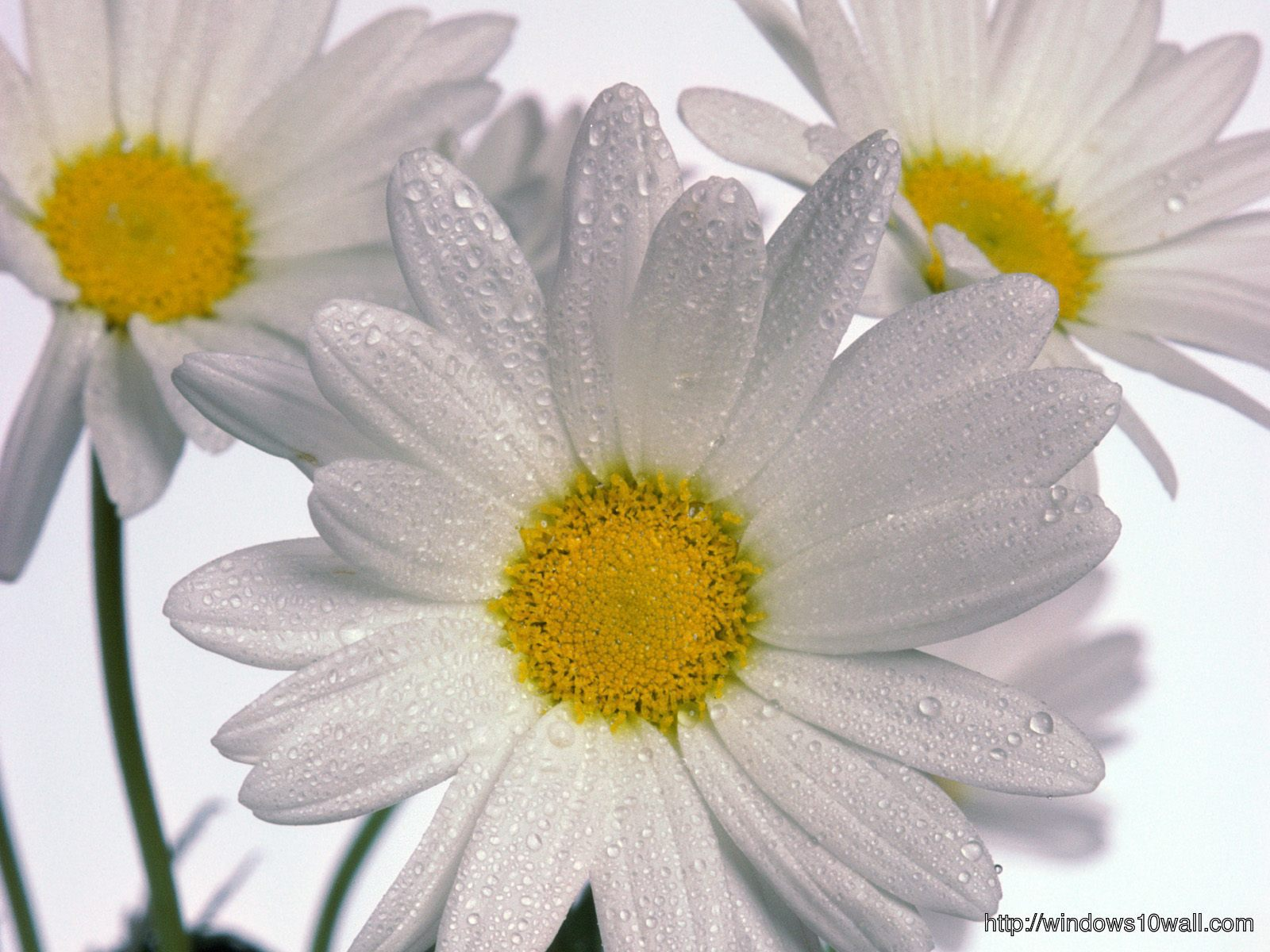 White Daisies Flowers Wallpaper