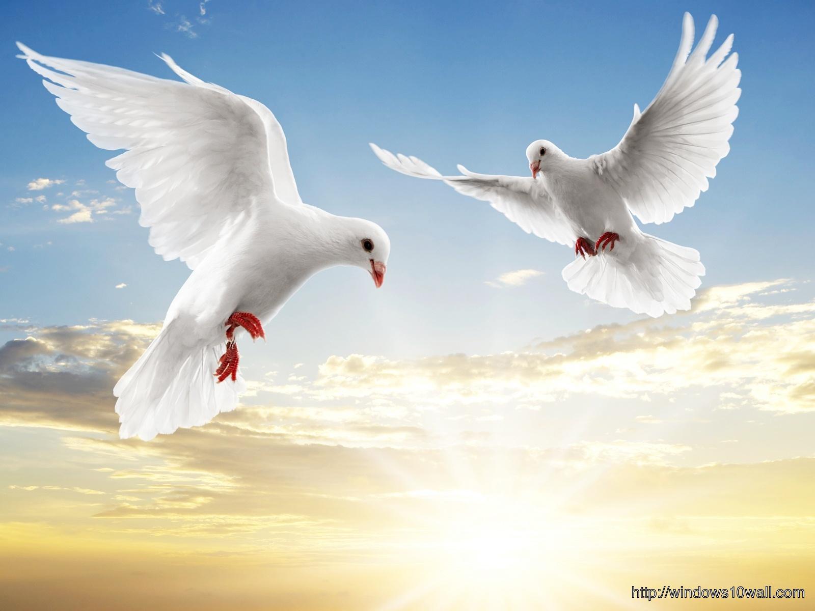 White Pigeon Couple Wallpaper