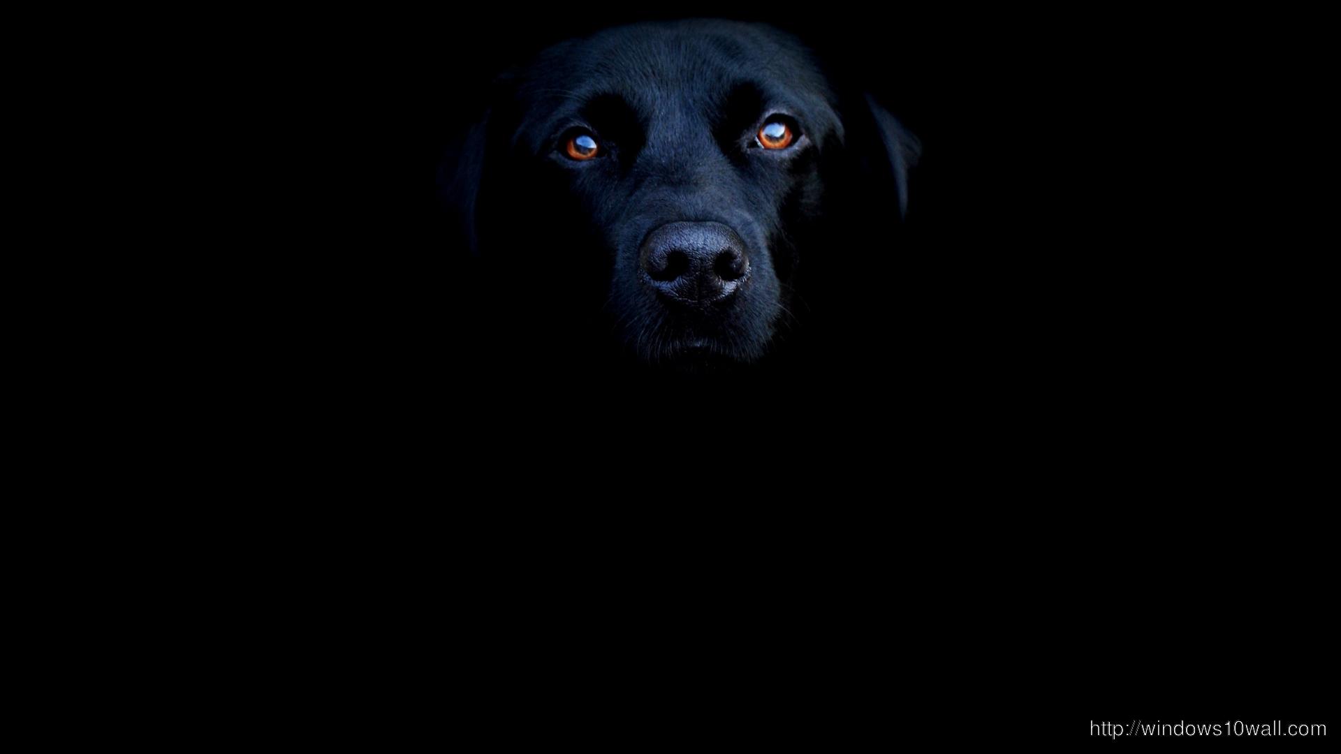 black-labrador-wallpaper