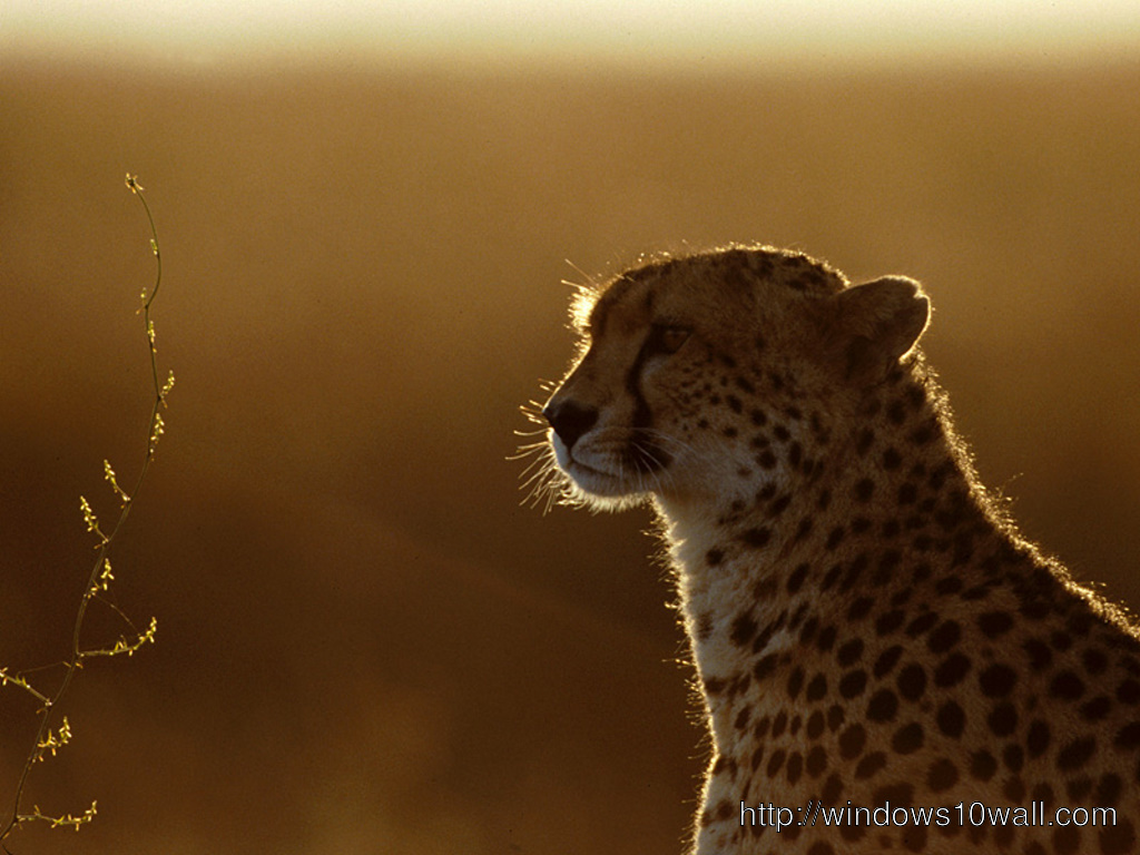 Cheetah In Sunset Background Wallpaper Windows 10 Wallpapers