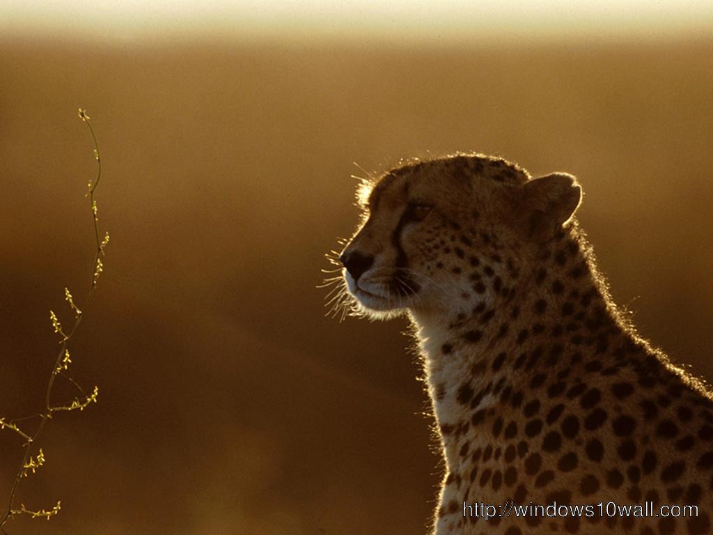 Cheetah In Sunset Background Wallpaper Windows 10 Wallpapers