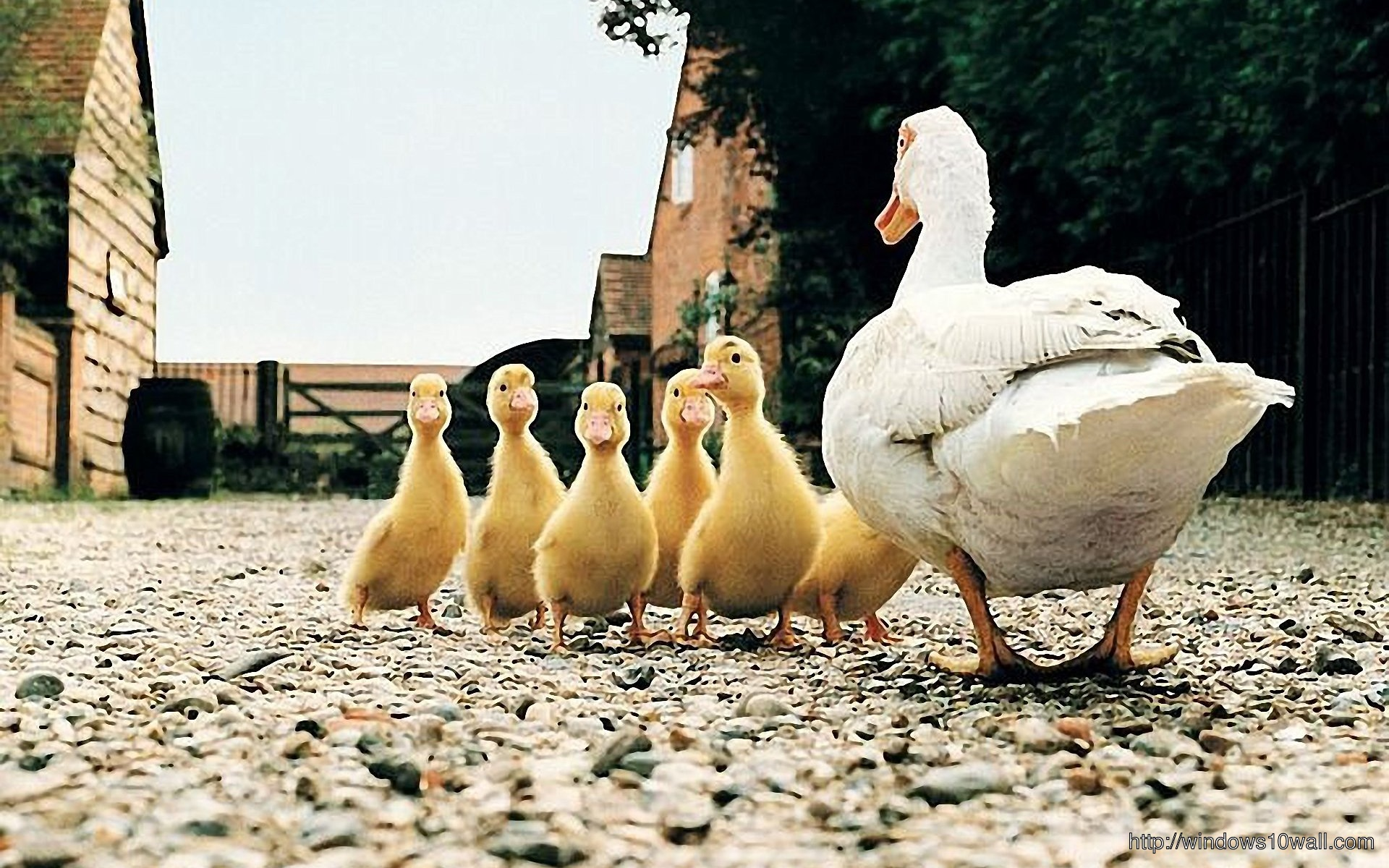 Duck Family Background Wallpaper